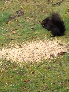 When I first moved here over 20 years ago, I had never seen a black squirrel. When I saw my first one i was so excited. I thought it was some kind of mutant squirrel. Now I know better. They are still my favorites.